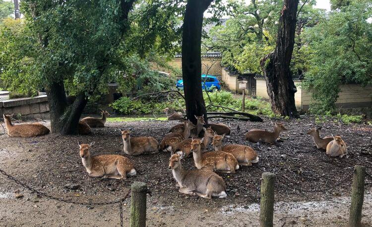 A group of deer sitting together at Nara deer park