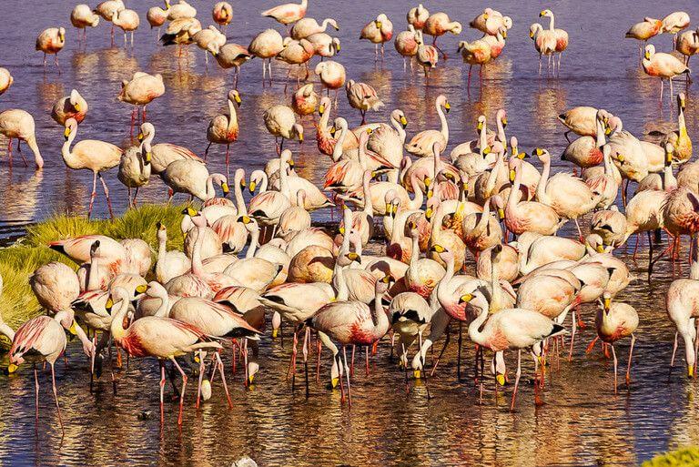 dozens of flamingoes feeding and wading in lake near San Pedro