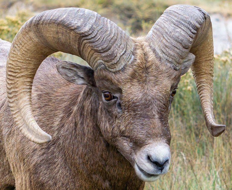 Beautiful Big Horn Sheep Badlands wildlife photography