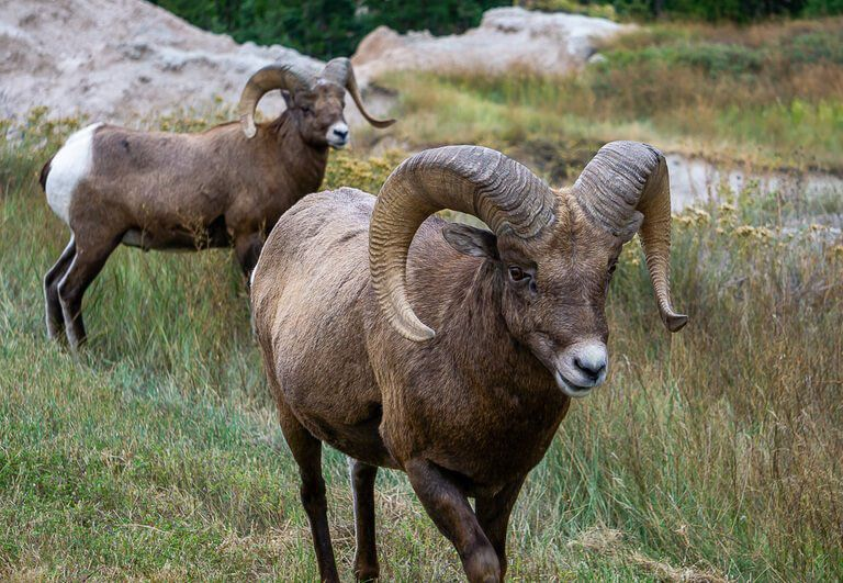 Amazing bighorn sheep at badlands national park
