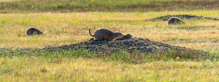 Solo prairie dog on the lookout and running between holes badlands