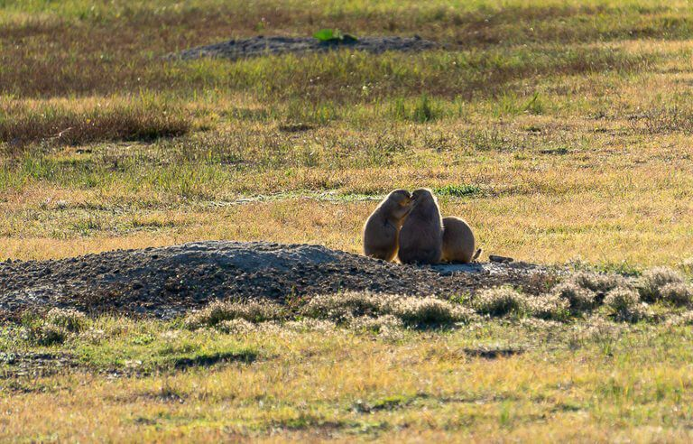 Three prairie dogs congregating over one hole sage creek campground