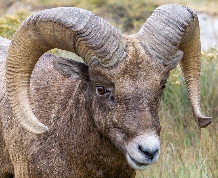 Bighorn Sheep close up shot at badlands national park