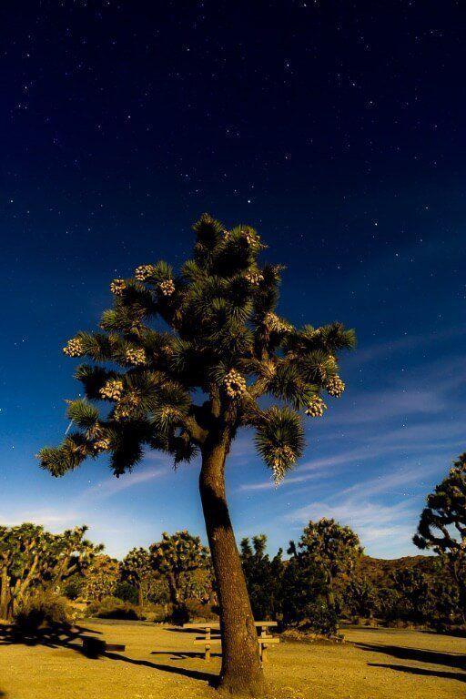 Day trip to Joshua Tree national park California stars behind tree illuminated by camera flash