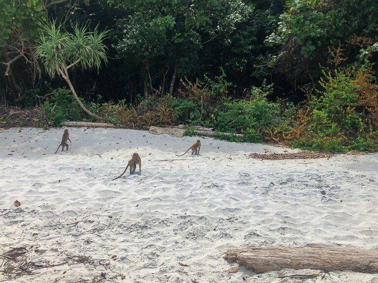 Mischievous monkeys on snorkel tour program 2 Koh Lipe Thailand stealing food from tourists