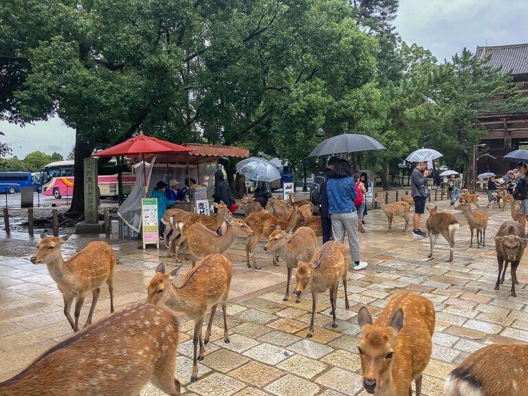 Dozens of wet deer walking around Nara Deer Park with tourists holding umbrellas in rainy Japan