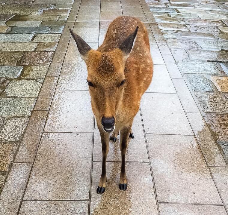 One deer standing alone wet on a pavement in Nara deer park Japan