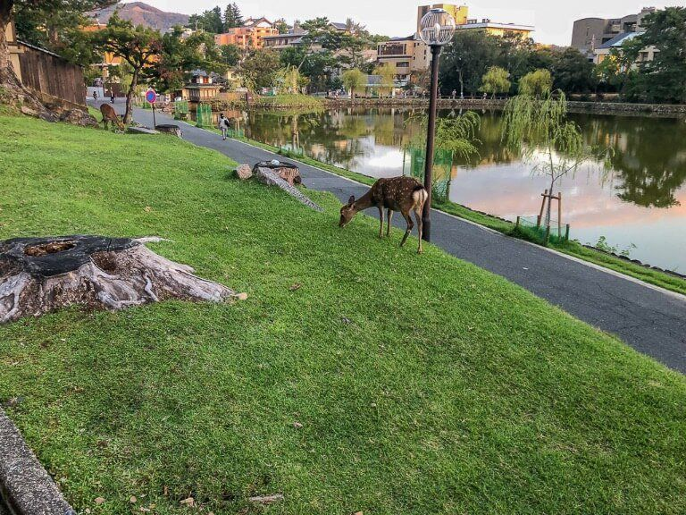A deer feeding on grass near Nara lake on a day trip itinerary Japan ancient capital