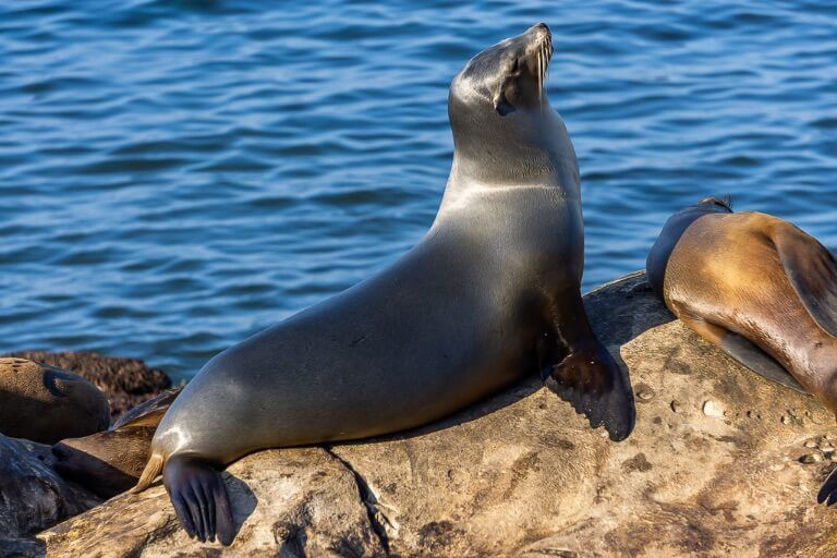 Sealion perched on a rock in La Jolla San Diego Itinerary