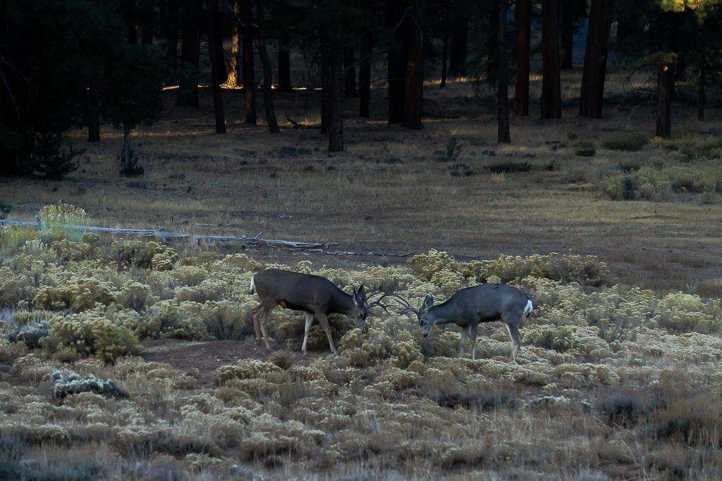 Deer play fighting at dawn in utah