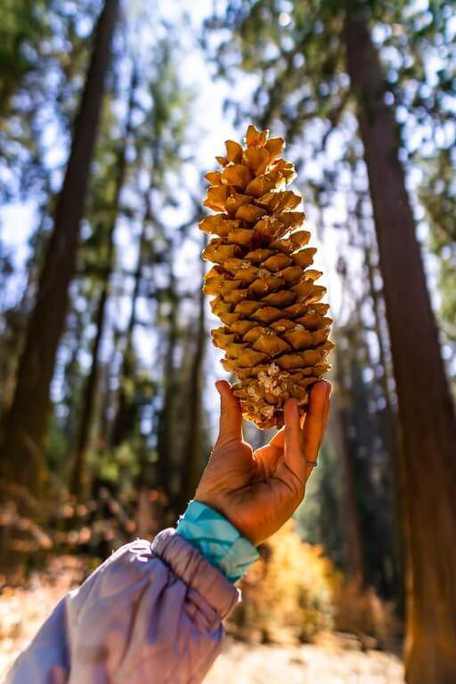 Kristen holding a pine cone up to the sun in a sequoia tree grove in california