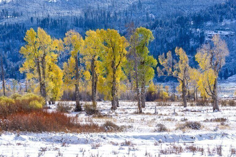 Gorgeous yellows and greens on leaves of trees surrounded by snow in fall
