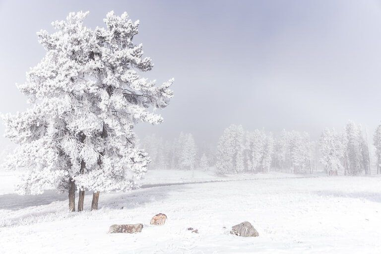 Tree covered in snow and frozen with mist on a stunning october day at yellowstone national park
