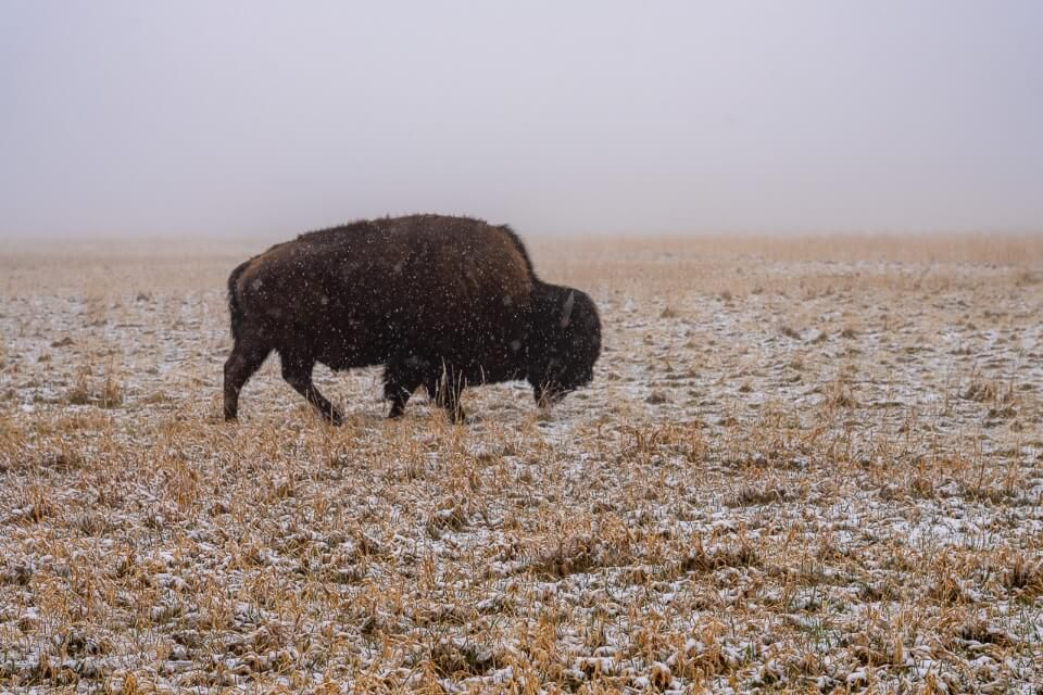 Bison walking on grass in snow and fog in south dakota