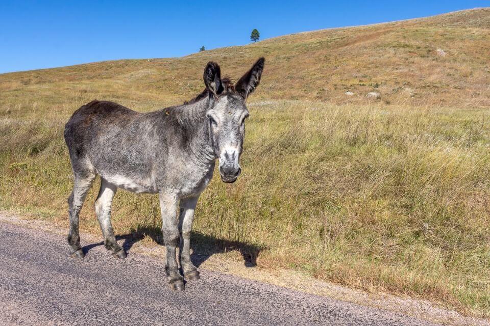 Grey burro standing on a road in custer state park wildlife loop