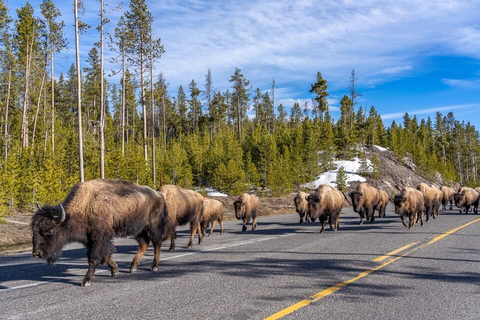 Mount Rushmore to Yellowstone Road Trip Bison Jam in Yellowstone National Park Bison walking along road in huge herd