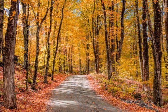New England Fall Foliage Road Trip Itinerary Stunning Peak Colors Forest in Vermont and New Hampshire Golden Yellow Leaves and Orange Leaves on the Ground Road Running Through Forest