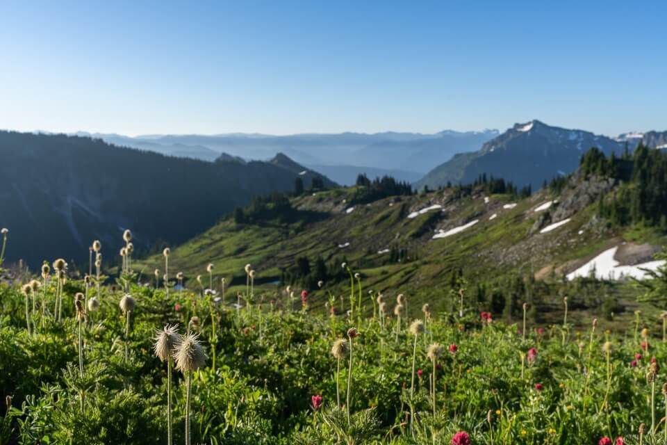 Flowers about to bloom on a mountainside in washington