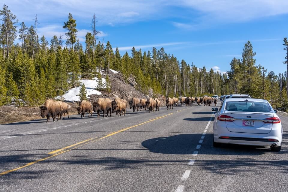 Cars stuck in a bison jam in yellowstone in april loads of bison walking on road