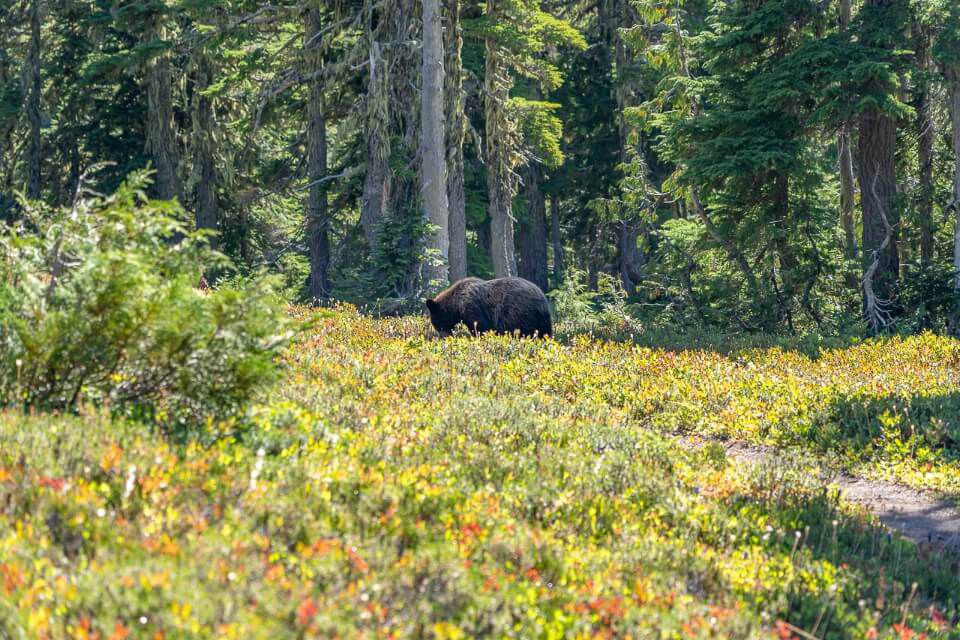 Bear walking among meadows eating berries in spray park trail mount rainier national park